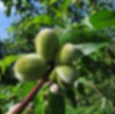 Junge Pfirsichfrüchte