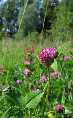 Red Clover (Trifolium pratense), a nitrogen-fixer