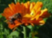 Honeybee on Calendula