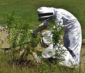 Bee swarm being recolted