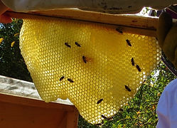 Honeycomb entirely built by the bees
