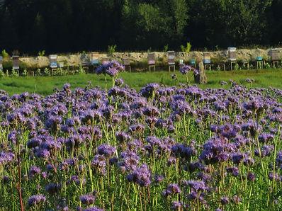 Bienenvölker bei einem Phacelia tanacetifolia – Feld