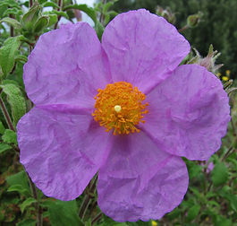 Rock rose flower