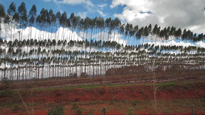 Eucalyptus plantation: a dead landscape for pollinators