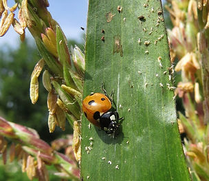 Ladybug eating pest on corn