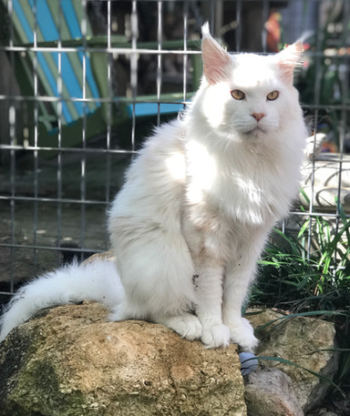 KittyUp Marshmellow of RoyalLions
