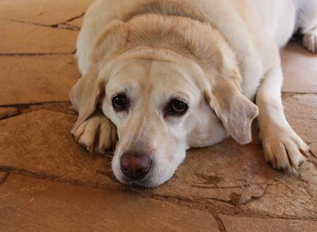Как да разберем дали кучето ни е с наднормено тегло