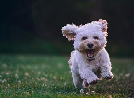 Съвети за отглеждането на кученце: Бунтарските тийнейджърски години
