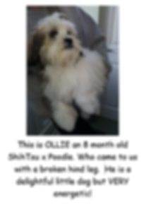 OLLIE POSTER PIC.PNG