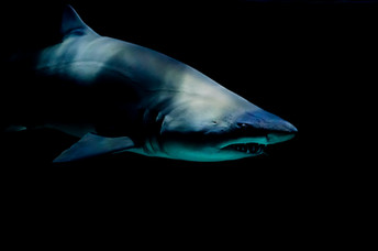 Meditating with Sharks: Surviving the corporate world, one breath at a time
