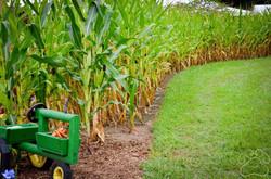 2016 Oz Fest Corn Field