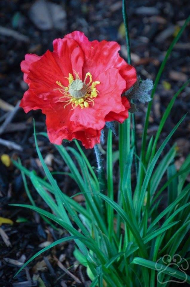 2016 Oz garden poppy