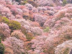 日本一の桜の名所として知られる奈良県・吉野町のイチオシの人気スポット「吉野山・千本桜」の情報ページです。吉野山・千本桜の見どころ、ベストシーズン、アクセスのコツ、合わせて立ち寄りたい名所など観光のポイントから地図、ハイライト動画まで幅広くご案内しています。詳細はこちらからご覧ください。