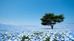春に咲く一面のネモフィラが「青の絶景」と呼ばれる茨城県・ひたちなか市のイチオシの人気スポット「国営ひたち海浜公園・ネモフィラ畑」の情報ページです。国営ひたち海浜公園の見どころ、ベストシーズン、アクセスのコツ、合わせて立ち寄りたい名所など観光のポイントから地図、ハイライト動画まで幅広くご案内しています。詳細はこちらからご覧ください。