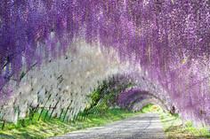 入園チケットが入手困難と言われる福岡県・北九州市のイチオシの人気スポット「河内藤園」の情報ページです。河内藤園の見どころ、ベストシーズン、アクセスのコツ、合わせて立ち寄りたい名所など観光のポイントから地図、ハイライト動画まで幅広くご案内しています。詳細はこちらからご覧ください。