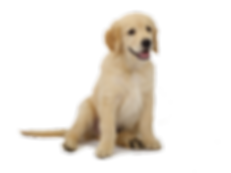 pups and play golden retriever puppy
