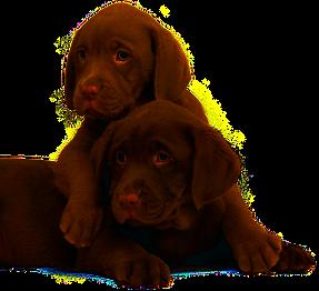 pups & play labrador puppy