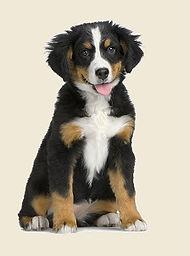pups & play berner sennen puppy