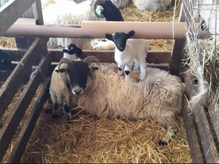 Lambing on Loch Lomond - 2019