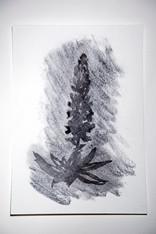 Silvery Lupine