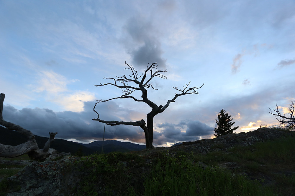 The Burmis Tree is a limber pine that died in the 1970s. An iconic tree to the Crowsnest Pass, it located along the Crowsnest Highway east of the municipality of Crowsnest Pass in southwestern Alberta. Photo: blkarts.ca