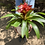 Thumbnail: Bromeliad in Modern Vase