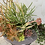 Thumbnail: Matilija Canyon Large Succulent Arrangement