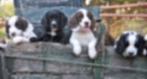 Ffredi pups (1).JPG