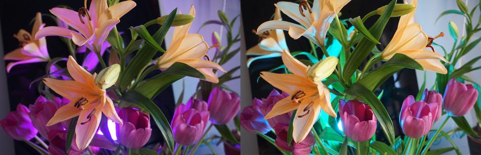 Liljat ja tulppaanit magenta / syaani