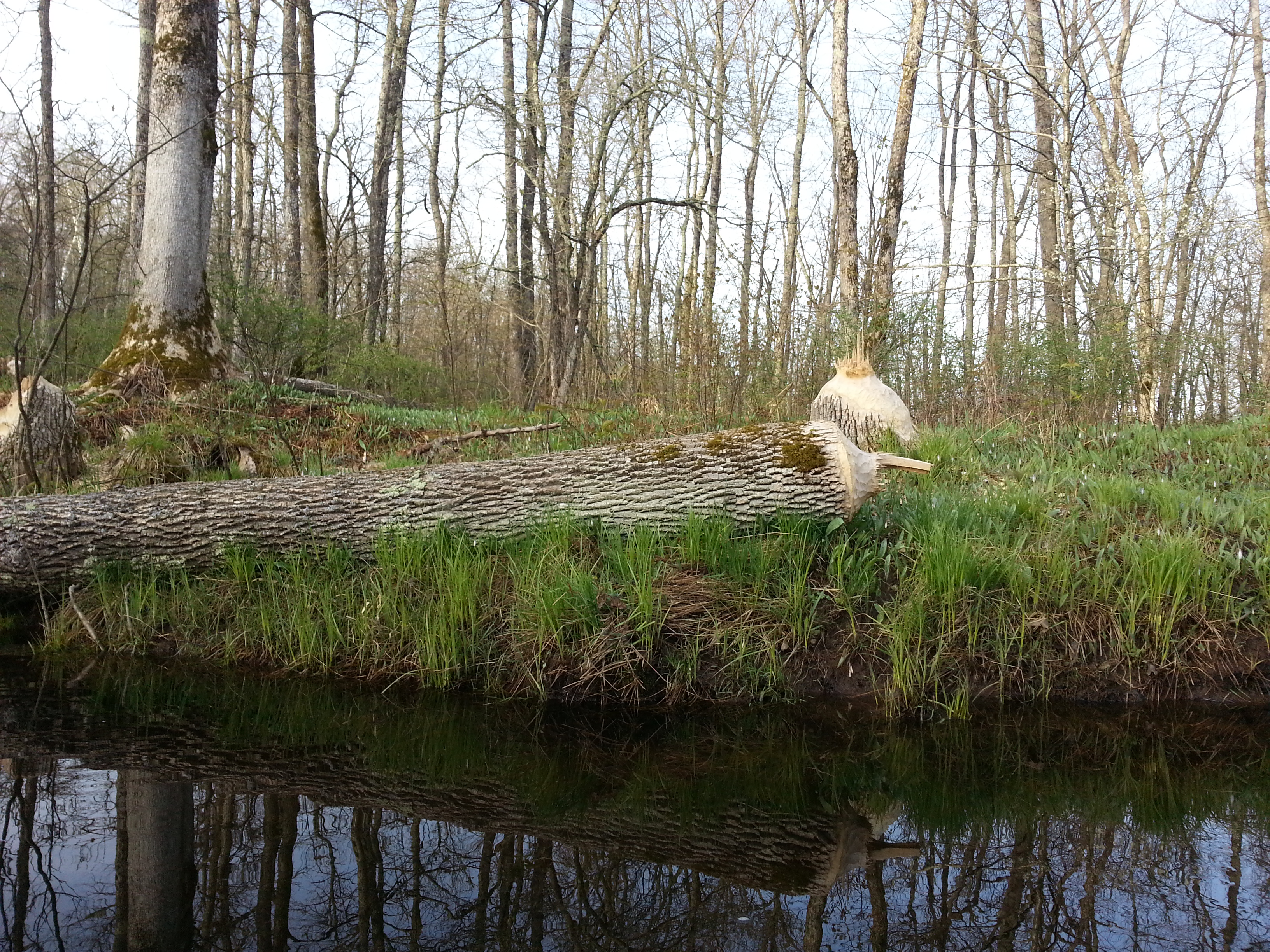 Tree felled by a beaver
