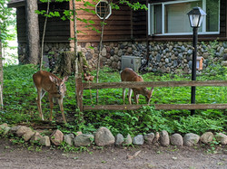 Deer near Cedar Cabin