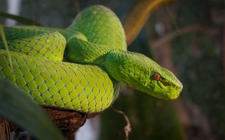 reptile vipère