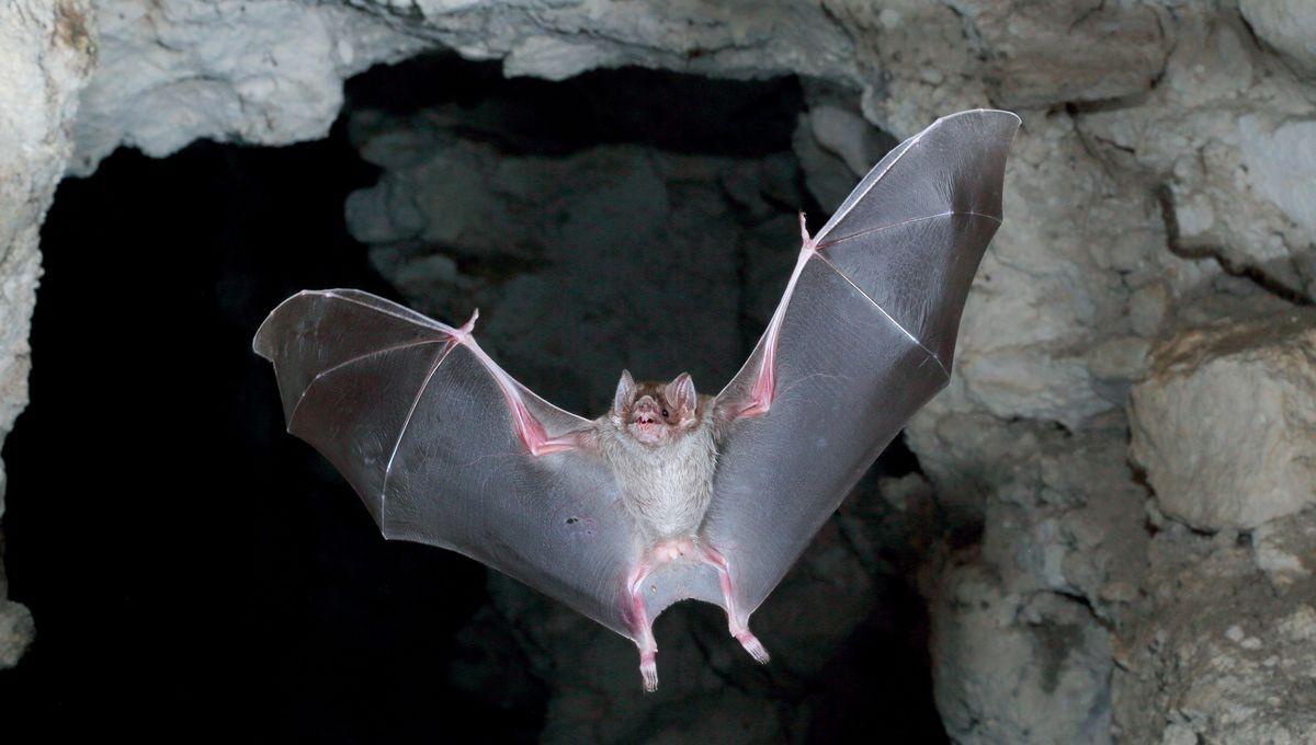 bat / chauve-souris