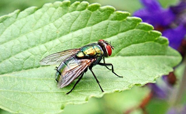 mouche insecte