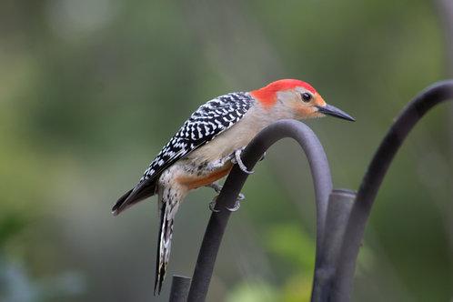 Woodpecker Gallery Wrap
