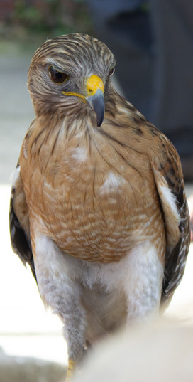 Hawk | Orlando Nature Photography | Sunshine Photography