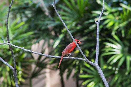 Red Cardinal Gallery Wrap