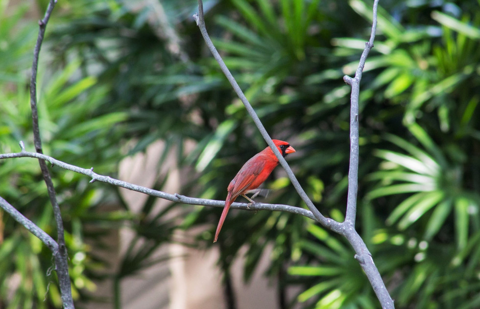 Male cardinal | Mead Botanical Garden | Orlando Nature Photography | Sunshine Photography