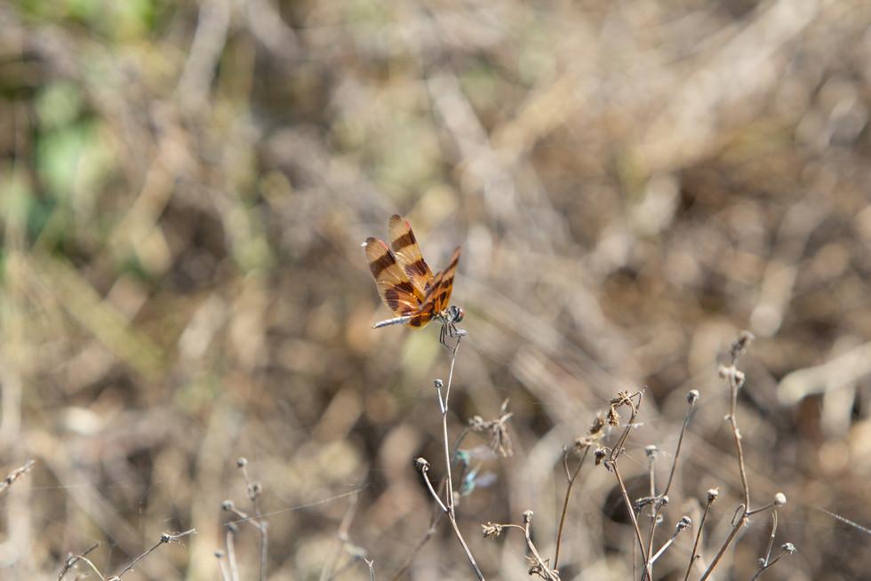 Dragonfly | Orlando Nature Photography | Sunshine Photography