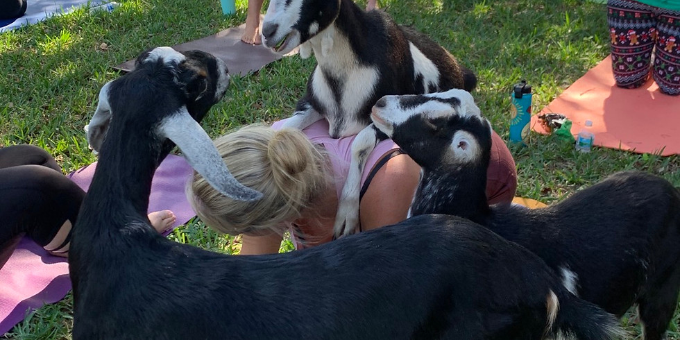 Yoga with Little Goats