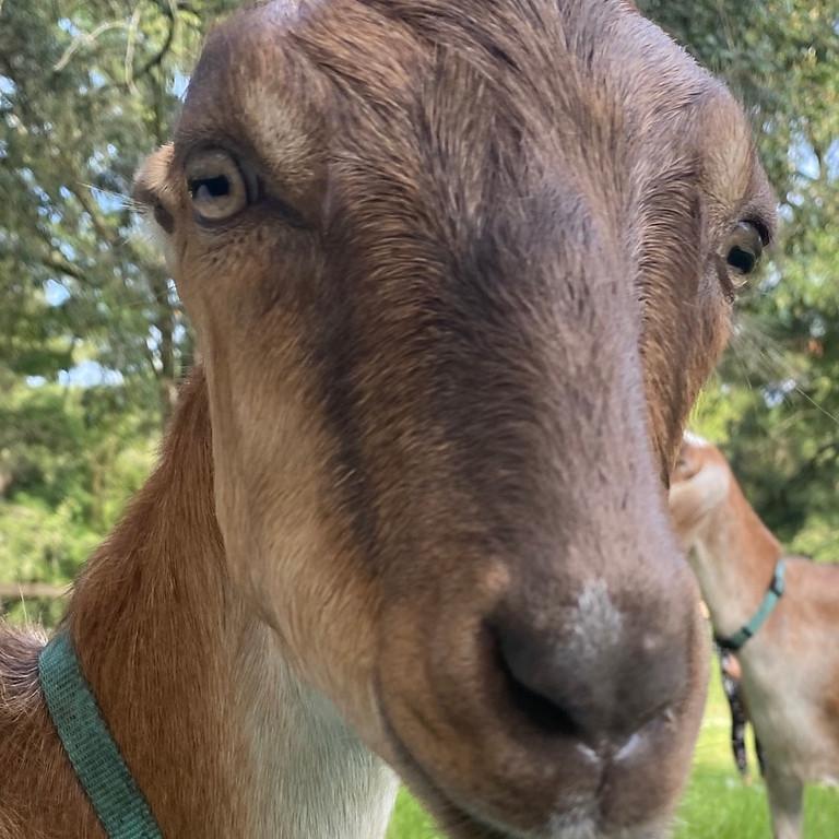 Broward Yoga with Little Goats - 9:00