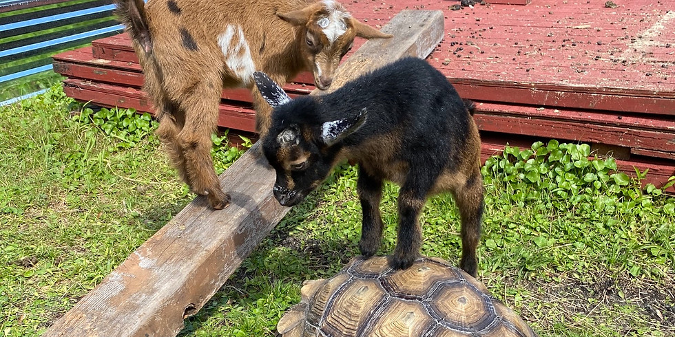 Daytona Yoga with Little Goats - 9:30