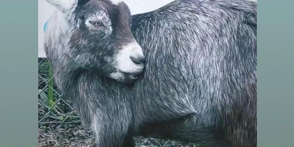 Yoga with Little Goats-Broward-9:00