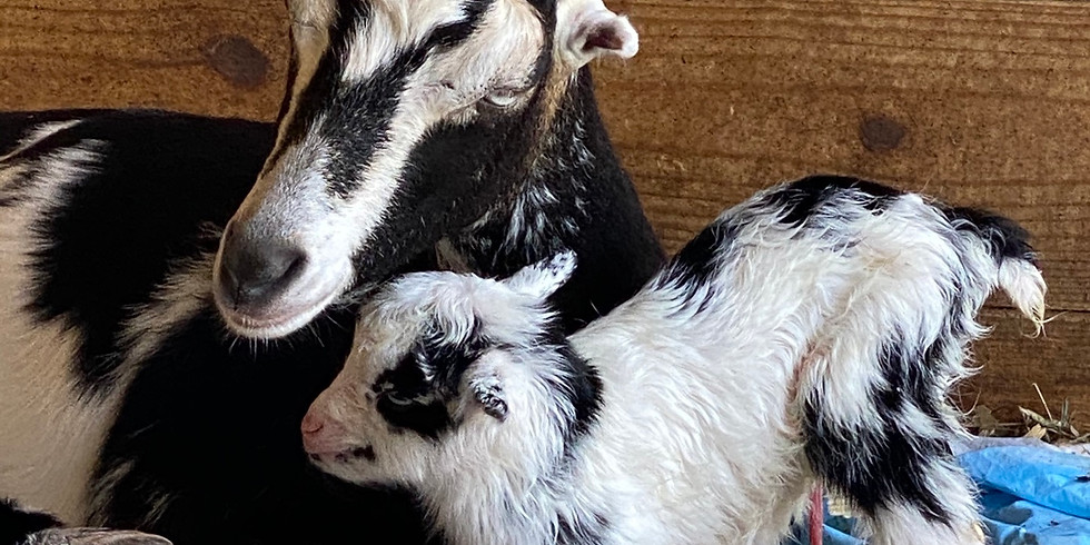 Palm Beach - Yoga with Little Goats - 9:00