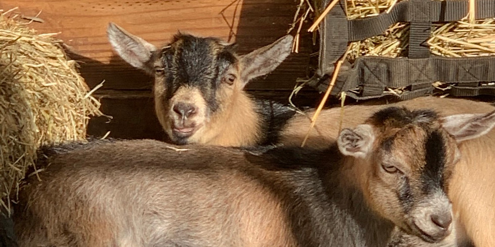 Yoga with Little Goats - Gainesville POSTPONED