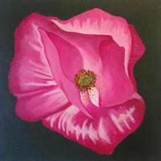 Large Pink Poppy