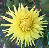 yellow dahlia.jpg