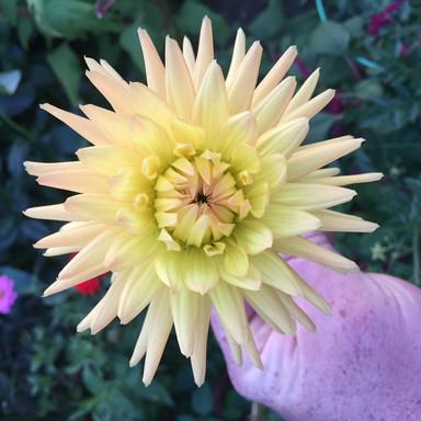 yellow pink dahlia.jpg