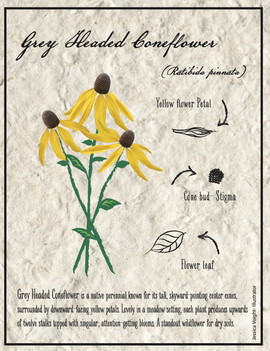 CONEFLOWER SCIENCE DIAGRAM
