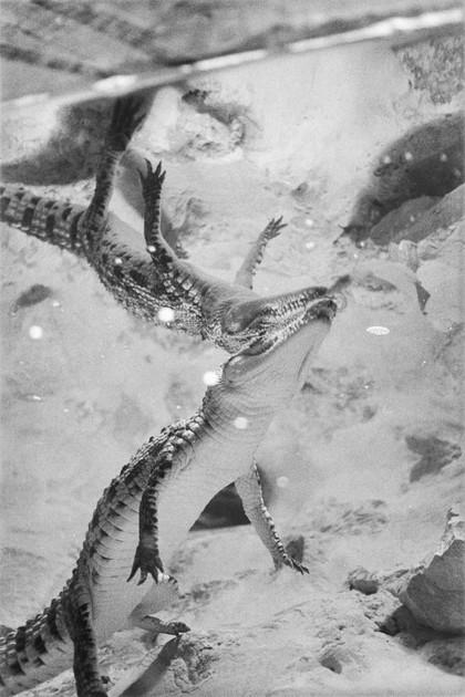 תנינים-1.jpg